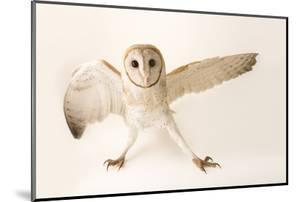 A common barn owl, Tyto alba javanica, at Penang Bird Park. by Joel Sartore