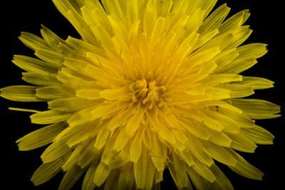 A Common Dandelion, Taraxacum Officinale