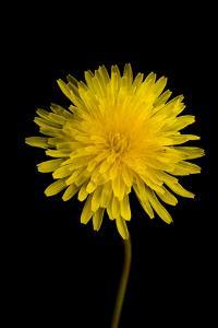 A Common Dandelion, Taraxacum Officinale by Joel Sartore