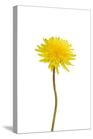 A Common Dandelion, Taraxacum Officinale