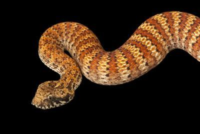 A common death adder, Acanthophis antarcticus, at the Omaha Zoo. by Joel Sartore