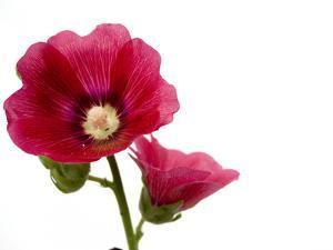 A Common Hollyhock Flower, Alcea Rosea by Joel Sartore