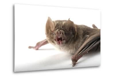 A Common Vampire Bat, Desmodus Rotundus, at Buffalo Zoo.