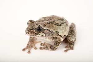 A Cope's Gray Tree Frog, Hyla Chrysoscelis, at Cross Lake, Minnesota by Joel Sartore