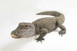 A Critically Endangered Chinese Alligator, Alligator Sinensis. by Joel Sartore