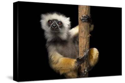 A Critically Endangered Diademed Sifaka, Propithecus Diadema, at Lemur Island.