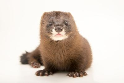 A critically endangered European mink, Mustela lutreola, at the Madrid Zoo. by Joel Sartore