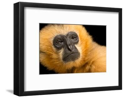 A Critically Endangered Female Northern White Cheecked Gibbon