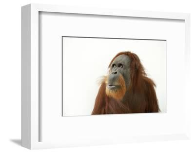 A Critically Endangered Female Sumatran Orangutan, Pongo Abelii, at the Gladys Porter Zoo