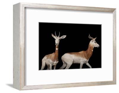 A Critically Endangered Male and Female Dama Gazelle, Nanger Dama Ruficollis.