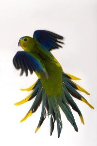 A Critically Endangered Orange-Bellied Parrot, Neophema Chrysogaster by Joel Sartore