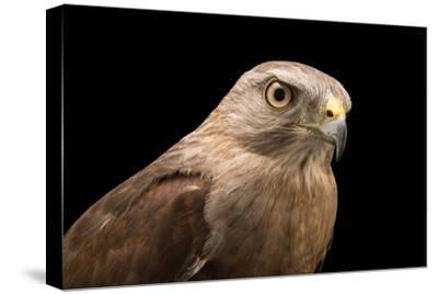 A Critically Endangered Ridgway's Hawk, Buteo Ridgwayi, at Parque Zoologico Nacional