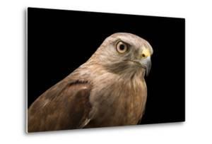 A Critically Endangered Ridgway's Hawk, Buteo Ridgwayi, at Parque Zoologico Nacional by Joel Sartore