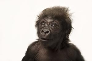 A Critically Endangered, Six-Week-Old, Female, Baby Gorilla, Gorilla Gorilla Gorilla, at the Cincin by Joel Sartore