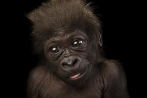 A Critically Endangered, Six-Week-Old Female Baby Gorilla, Gorilla Gorilla Gorilla, at the Cincinna by Joel Sartore