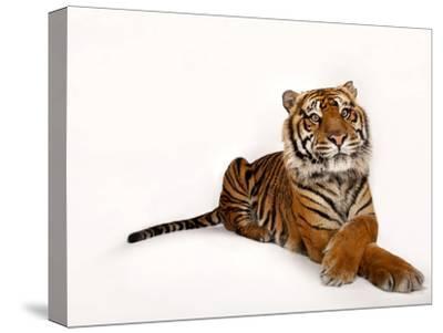 A Critically Endangered Sumatran Tiger, Panthera Tigris Sumatrae