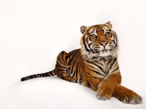 A Critically Endangered Sumatran Tiger, Panthera Tigris Sumatrae by Joel Sartore