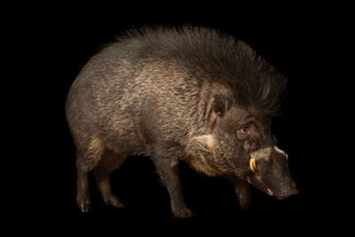 A Critically Endangered Visayan Warty Pigs, Sus Cebifrons, at the Minnesota Zoo.