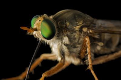 A Delhi Sands Flower-Loving Fly, Rhaphiomidas Terminatus Abdominalis.