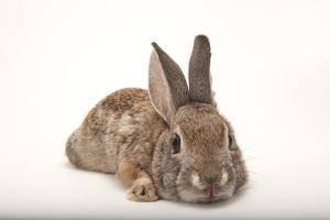 A Desert Cottontail Rabbit, Sylvilagus Audubonii. by Joel Sartore