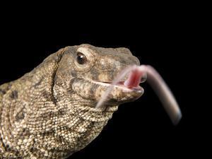 A Dumeril's Monitor Lizard, Varanus Dumerilii, with it's Tongue Out by Joel Sartore