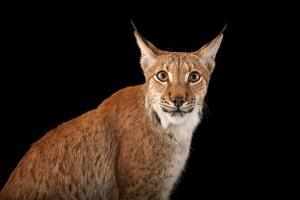A Eurasian lyns, Lynx lynx, at the Columbus Zoo. by Joel Sartore