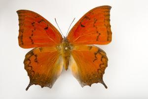 A Federally Endangered Florida Leafwing Butterfly Mounted on a Pin by Joel Sartore