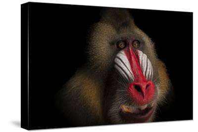A Federally Endangered Mandrill, Mandrillus Sphinx, at the Gladys Porter Zoo