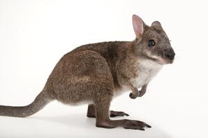 A Federally Endangered Parma Wallaby, Macropus Parma, at the Cleveland Metroparks Zoo by Joel Sartore