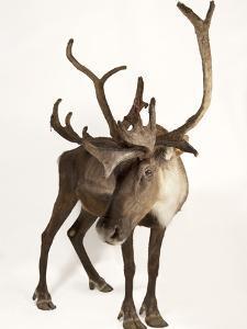 A Federally Endangered Woodland Caribou, Rangifer Tarandus Caribou by Joel Sartore