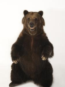 A Federally Threatened Grizzly Bear, Ursus Arctos Horribilis by Joel Sartore