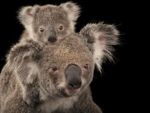 A Federally Threatened Koala with Her Baby by Joel Sartore
