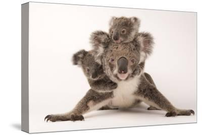 A Federally Threatened Koala with Her Offspring, One of Which Is Adopted