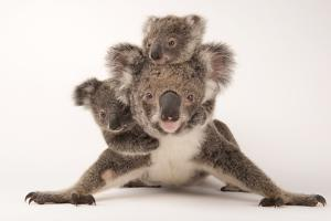A Federally Threatened Koala with Her Offspring, One of Which Is Adopted by Joel Sartore