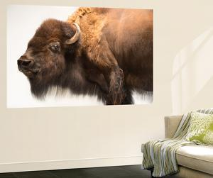 A Female Bison, Bison Bison, at the Oklahoma City Zoo by Joel Sartore