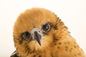 A female Hawaiian hawk, Buteo solitarius by Joel Sartore