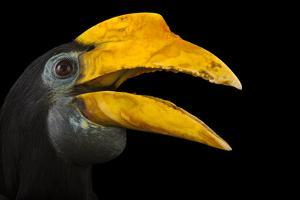 A Female Wrinkled Hornbill, Aceros Corrugatus, at the Houston Zoo by Joel Sartore