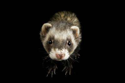 A Ferret, Mustela Furo, at Rolling Hills Wildlife Adventure. by Joel Sartore