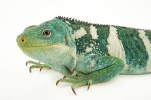 A Fiji Island banded iguana, Brachylophus bulabula, at the Los Angeles Zoo. by Joel Sartore