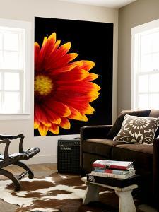 A Fire Wheel Flower, Gaillardia Pulchella by Joel Sartore