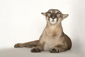 A Florida Panther, Puma Concolor Coryi, at Tampa's Lowry Park Zoo by Joel Sartore