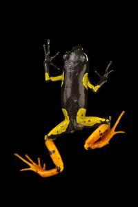 A frog, Mantella metisy, at Tsimbazaza Zoo. by Joel Sartore