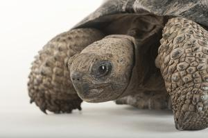 A Galapagos Tortoise, Geochelone Nigra, at the Lincoln Children's Zoo by Joel Sartore