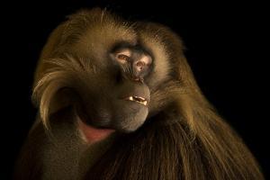 A Gelada baboon, Theropithecus gelada, at Parco Natura Viva. by Joel Sartore
