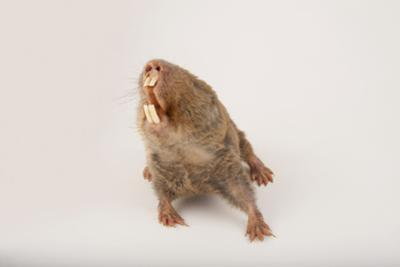 A Giant Mole Rat, Cryptomys Mechowi, at the Houston Zoo by Joel Sartore