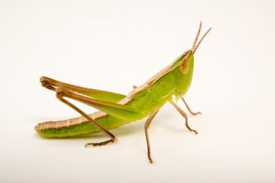 A grasshopper, Syrbula admirabilis, at Cedar Point Biological Station by Joel Sartore