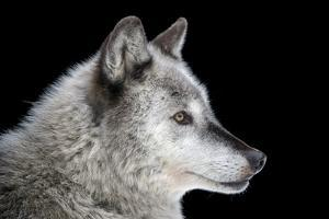A gray wolf, Canis lupus, at the Alaska Zoo. by Joel Sartore