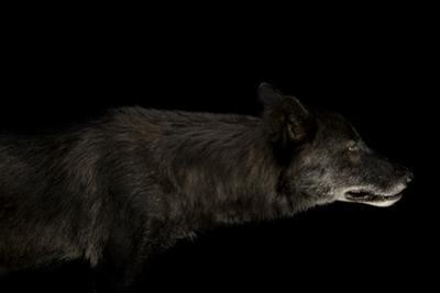 A Gray Wolf, Canis Lupus.