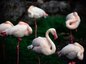 A Group of Flamingos Resting Upon One Foot by Joel Sartore
