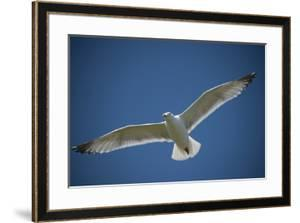 A Herring Gull Flies over Gull Island, a Manmade Dredge Spoil Island in the Barnegat Inlet by Joel Sartore